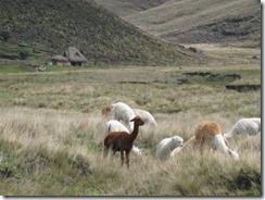 Sights on the way to Chimborazo Mountain, Alpacas