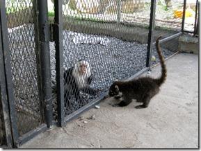 A Coati (Ko war tee)
