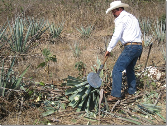 Harvesting the Agave