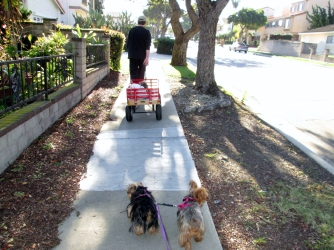 Yorkies on a walk
