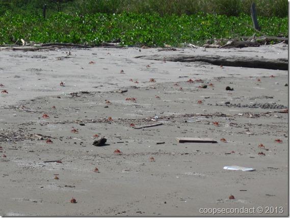 Red Sandcrabs