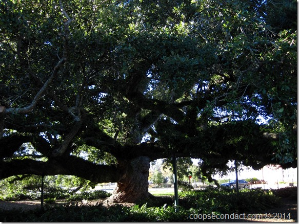 500 year old oak tree