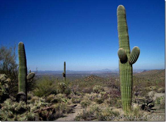 Saguaro with young limbs