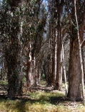 Eucalytus trees
