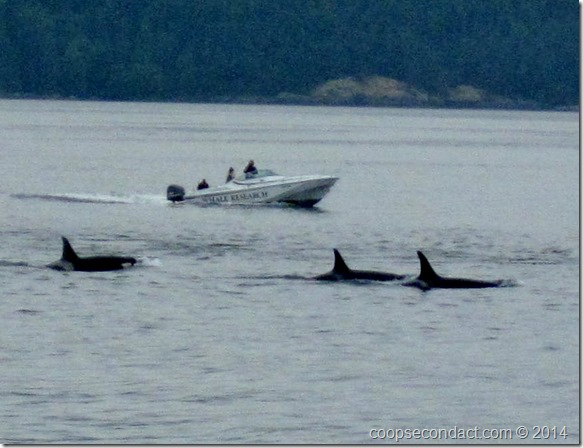 Orcas from J Pod