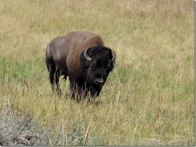 Bison Sighting