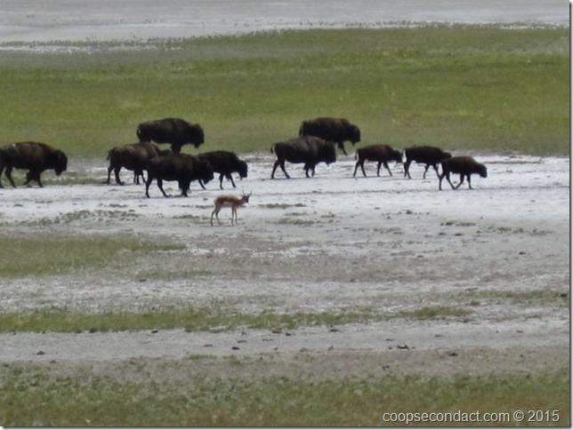 Small antelope with the bison