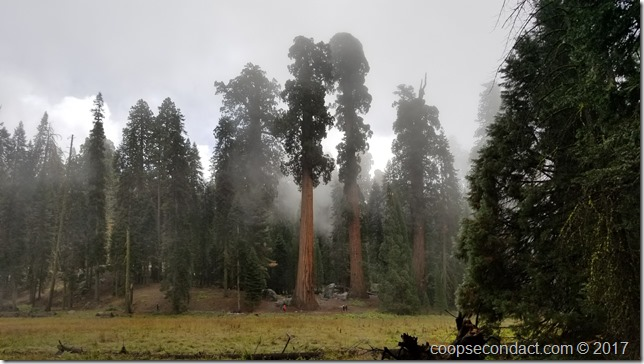 Sequoia trees across the meadow